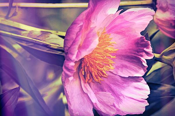 Geraldine Scull - Painted peony art