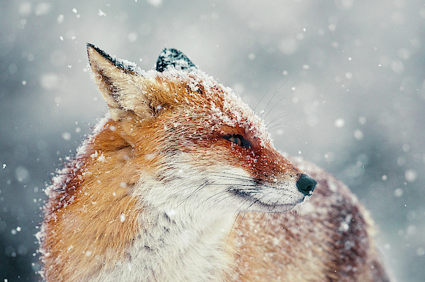 Roeselien Raimond - Snow Fox Series - Fox Face