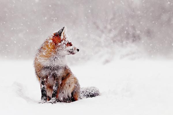 Arctic Fox In The Snow Therapist Bag