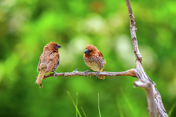 Linda Brody - Spice Finches Two Together