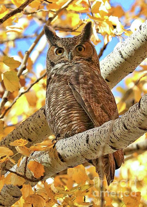 Carol Groenen - Statuesque Great Horned Owl