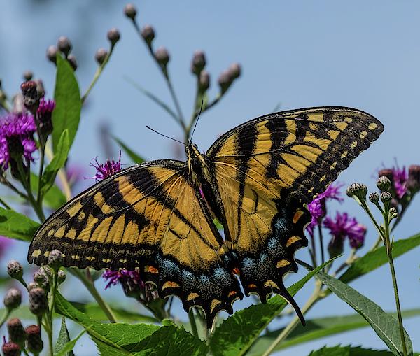 Liz Albro - Swallowtail Up Close