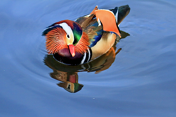 Geraldine Scull - The Lights Right  - Central Park celebrity Mandarin duck