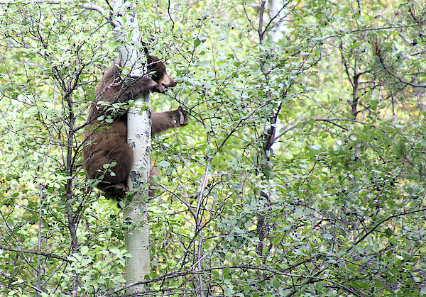 Michael Riley - Tree Climbing Bear