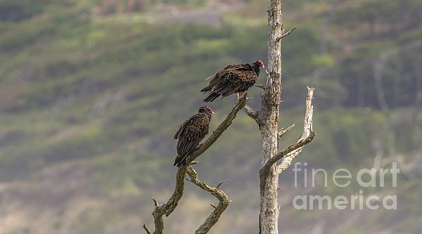 Marv Vandehey - Vultures on Dead Tree Branch