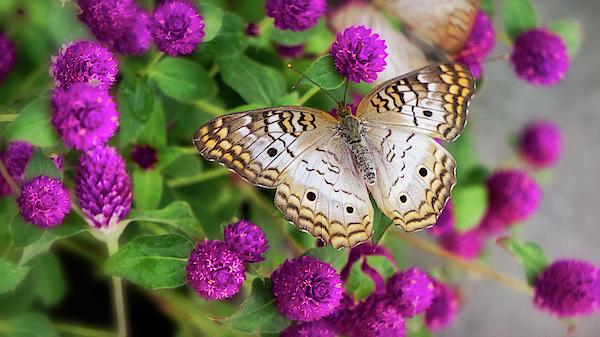 Saija Lehtonen - White Peacock Butterfly on Pink Flowers