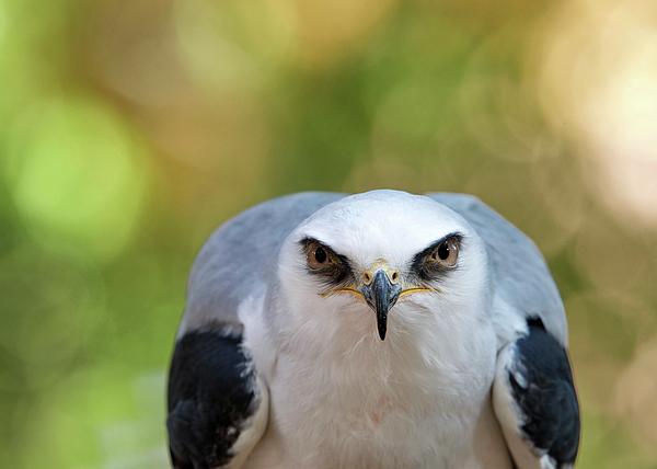 Sheila Fitzgerald - White Tailed Kite Glaring at viewer