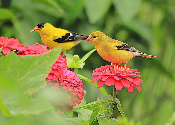 CatXuan Nguyen - Wild Bird Couples - American Goldfinches
