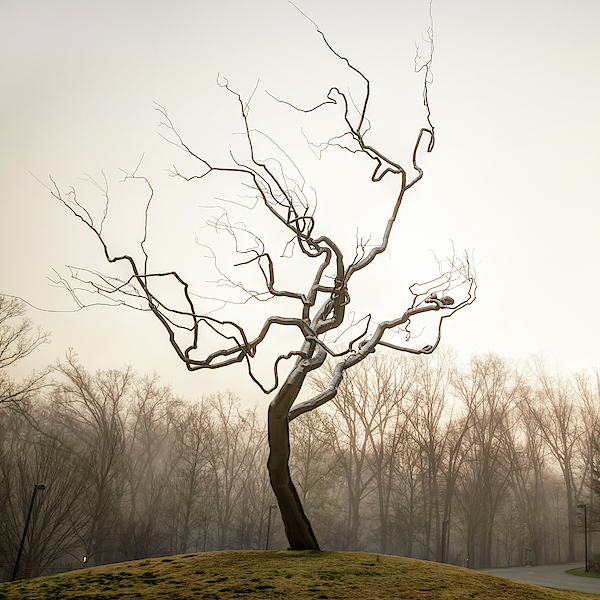 Yield Tree In The Fog - Northwest Arkansas Photograph