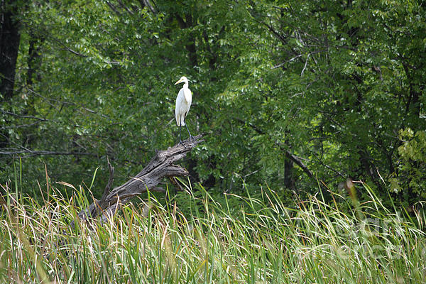 Ruth Housley - Young Egret Watching And Waiting
