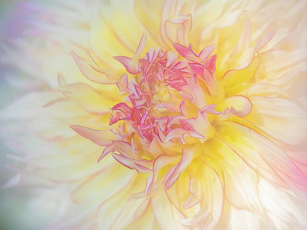 Sylvia Goldkranz - A Delicate Dahlia
