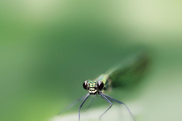 Lieve Snellings - A Damsel Fly in Green