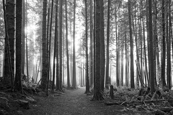 Allan Van Gasbeck - A Path Through The Old Growth Black and White