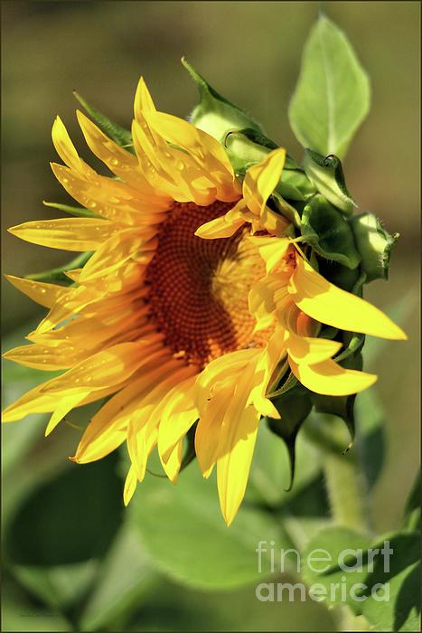 Sandra Huston - Adoring the Sun
