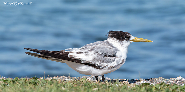 Kevin Chippindall - Australian Crested Tern 88