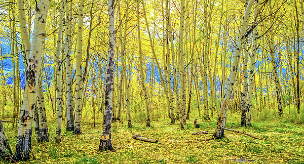 Richard Jansen - Backlit Aspens, Colorado