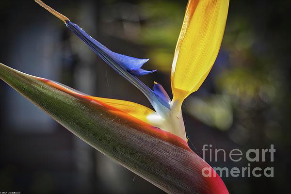 Mitch Shindelbower - Bird Of Paradise