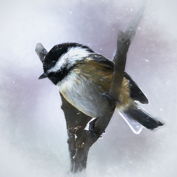 Mary Lynn Giacomini - Black-capped Chickadee in Winter