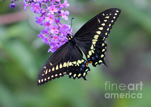 Karen Adams - Black Swallowtail Beauty 2020