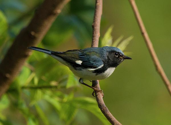 Eric Abernethy - Black-throated Blue Warbler, Setophaga caerulescens, Wood Warbler, North Carolina Uwharries, Fall 3