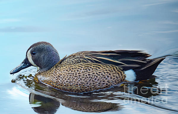 Audie T Photography - Blue Winged Teal