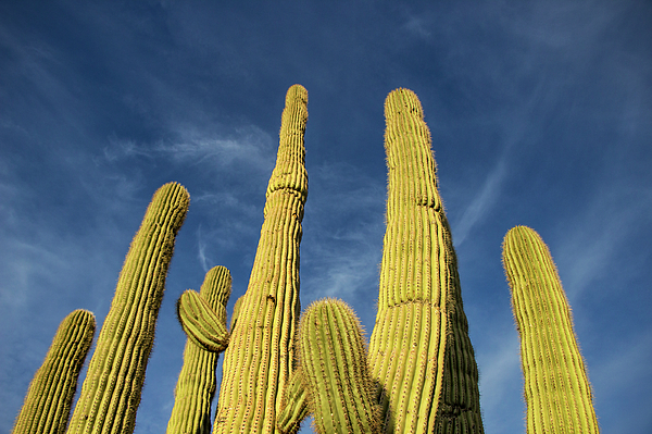 Ray Redstone - Cactus arms soaring to the Arizona blue sky