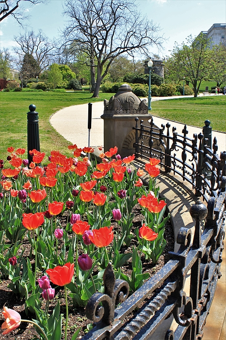 David Beard - Capitol Hill Tulips