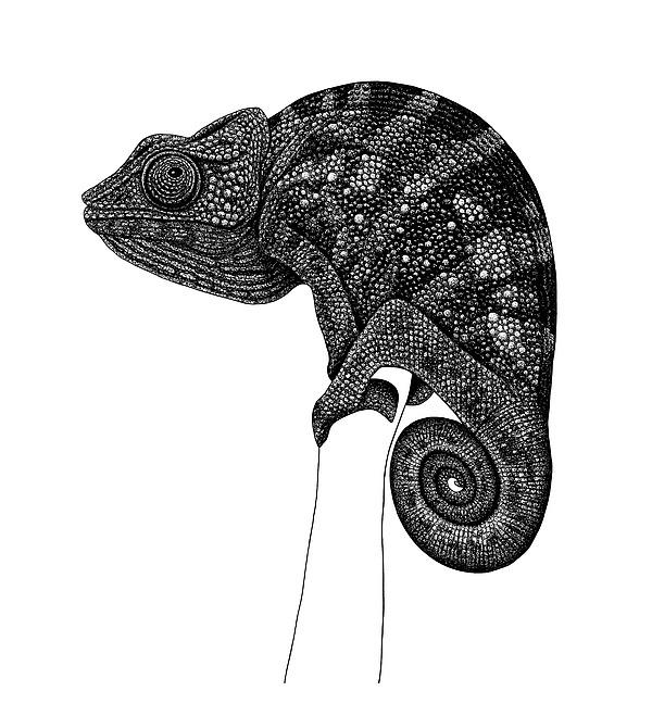 Loren Dowding - Chameleon illustration