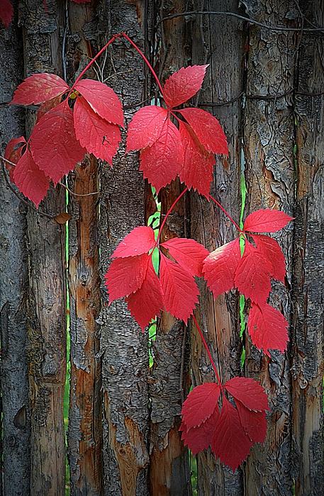 Toni Abdnour - Climbing Red Vine Of Autumn