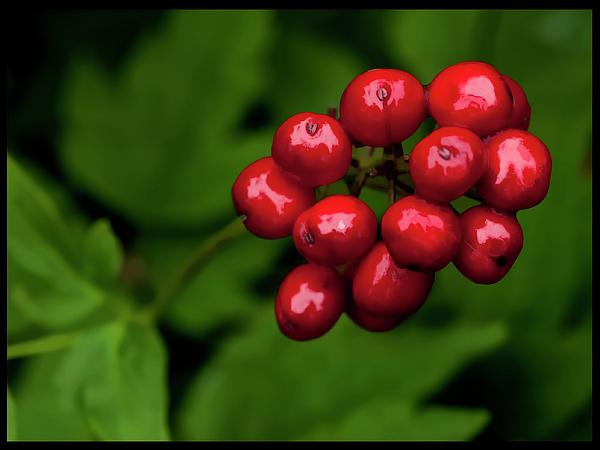 Elena Francis - Hanging Berries