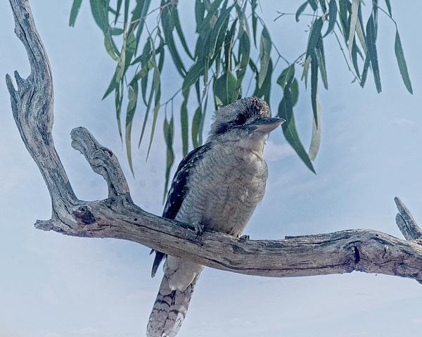Graham Buffinton -  Kookaburra