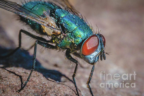 Stephen Geisel - Macro Blow Fly Photograph