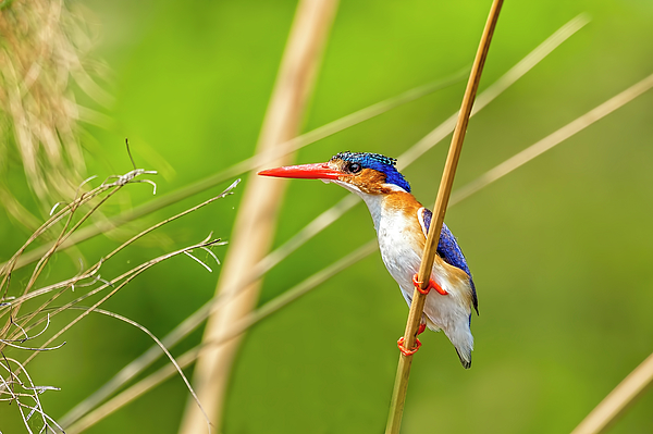 Kay Brewer - Malachite Kingfisher On the Hunt