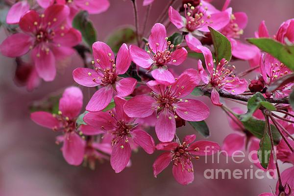 Karen Adams - Pink Crabapple Blossoms