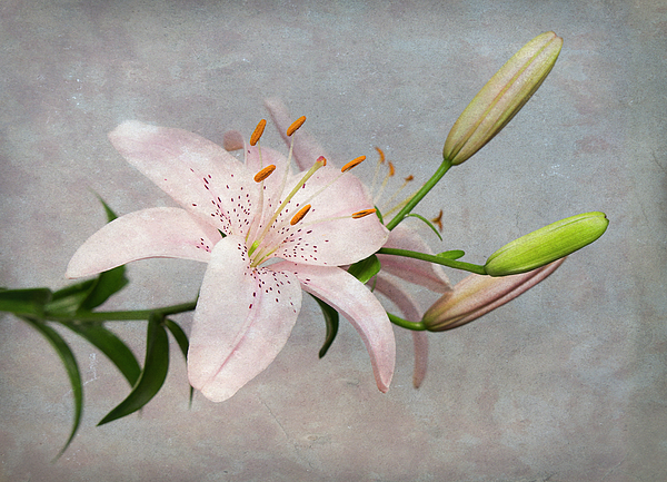 Pink Lily With Texture Photograph