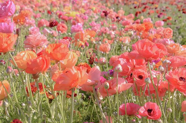 Christina McGoran - Ranunculus Garden Dressed in Pink