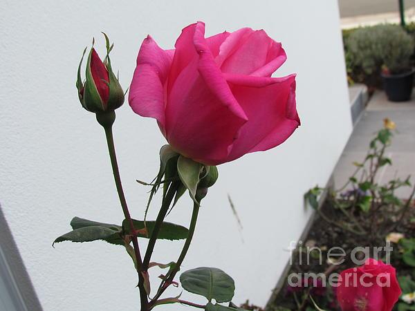 Joyce Woodhouse - Red Rose in my garden