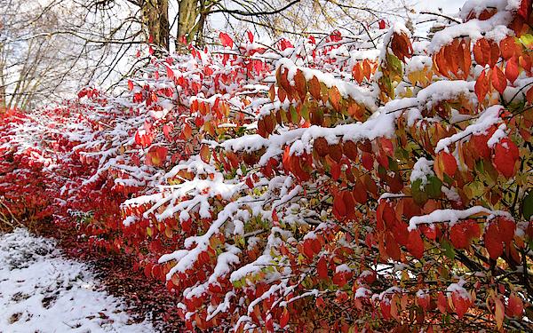 Maria Keady - Snow Covered Fall Colours