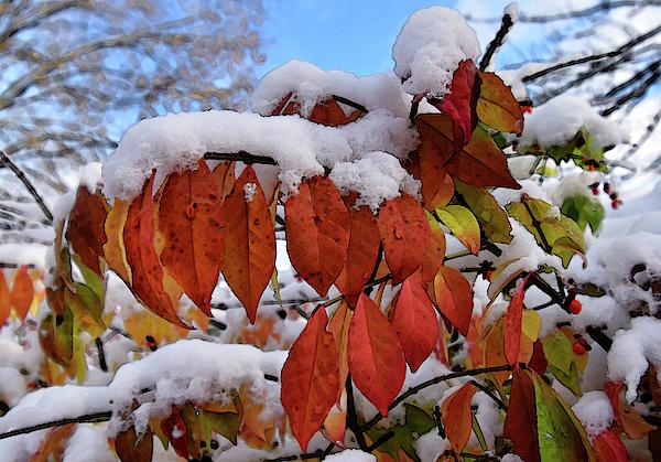 Maria Keady - Snowy Leaves Stylized