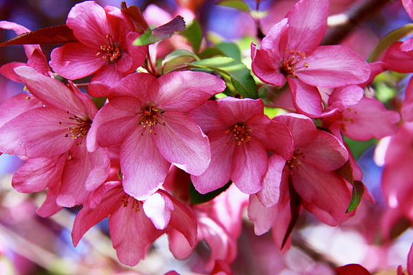 Susan Buscho - Spring Beauties