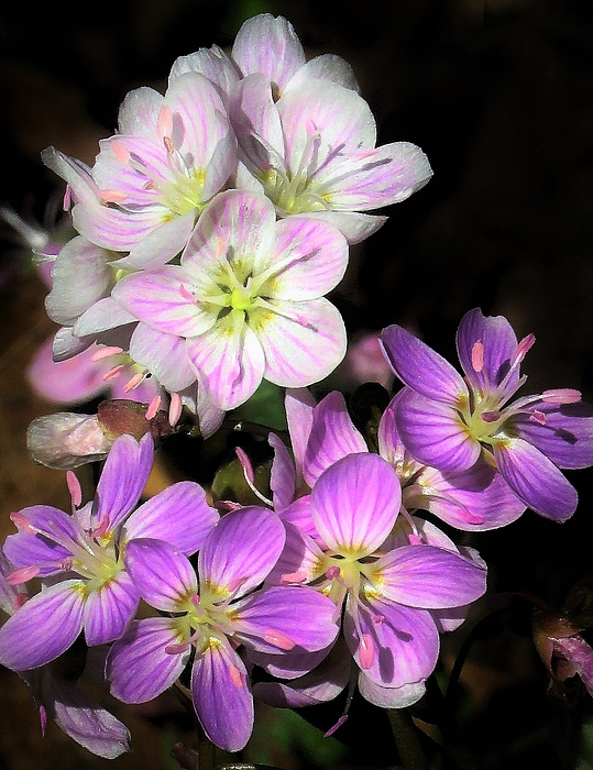Lori Frisch - Spring Beauty Variations
