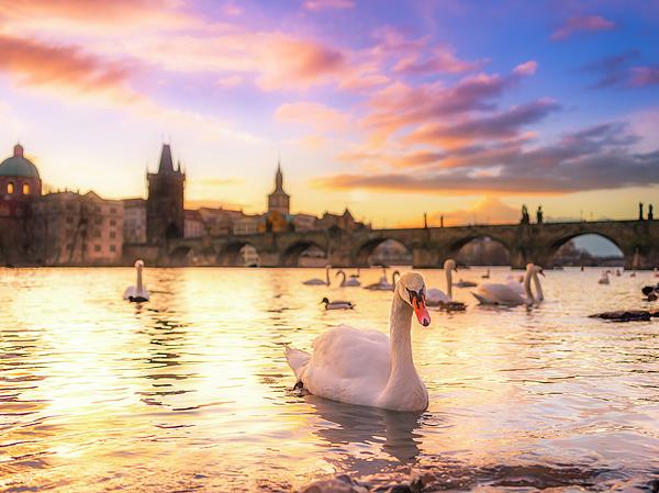 Fernando Pedro Salgado - Swans at sunrise