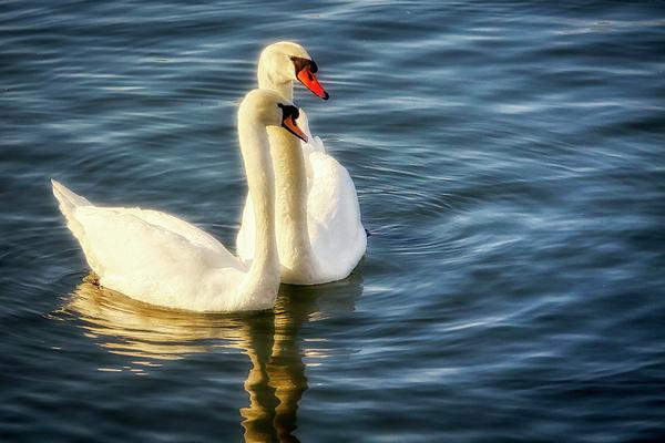 Tatiana Travelways - Two Floating Swans