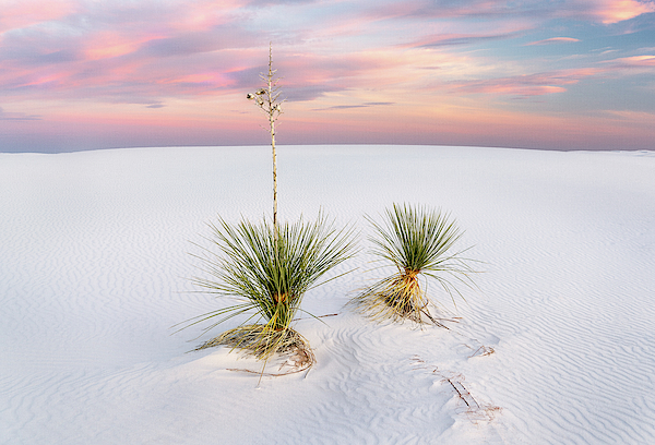 Yucca Photograph