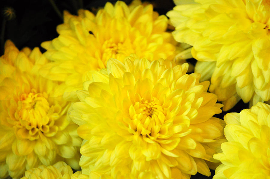 A Yellow Chrysanthemum Symbolizes Slighted Love Photograph ... Yellow Chrysanthemum Flower