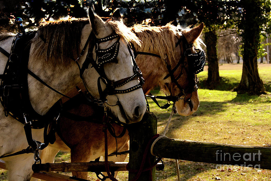 Horses Photograph -  Carriage Ride by Kim Henderson