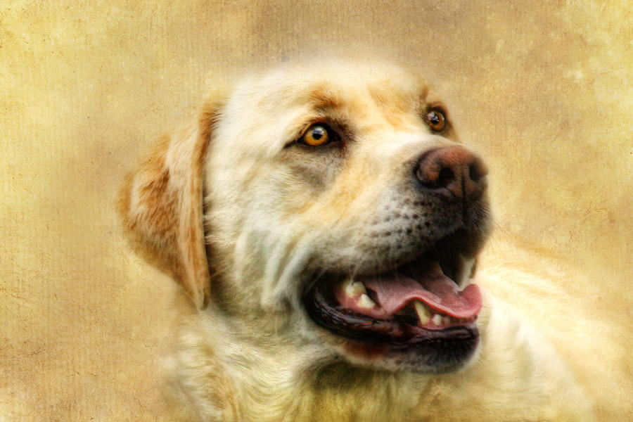Labrador Photograph -  Cass by Trudi Simmonds