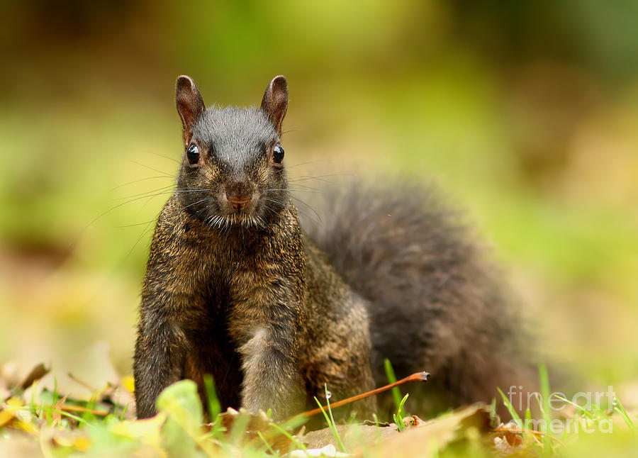 Eastern Photograph -  Curious Black Squirrel by Mircea Costina Photography