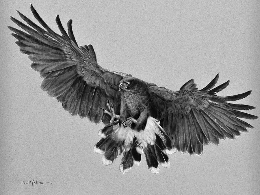 Hawk Drawing - Harriss Hawk by Daniel Adams