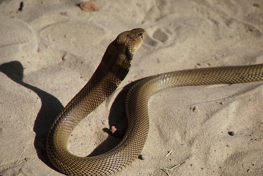 лист среднеазиатская кобра фото гарантируем, что